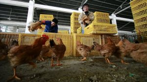 Workers unload chickens from a container at a wholesale market on in Shanghai, China. Scientists taking a first look at the genetics of the new bird flu strain said it could be harder to track than its better-known cousin H5N1 because it might be able to spread silently among poultry. Picture: AP